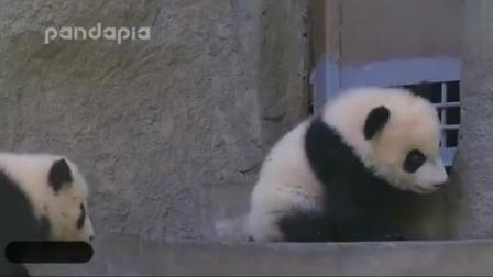 熊猫宝宝听到饲养员唱歌, , 居然做了这么个动作, , 太心机了