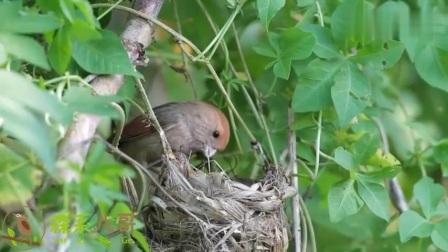 粉红鹦嘴鸟育雏记:鸟妈妈喂完小鸟,还把不明物体带走了