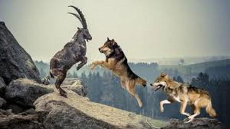 狼群猎杀岩羊岩羊发现危机在悬崖上逃命结果意外发生了