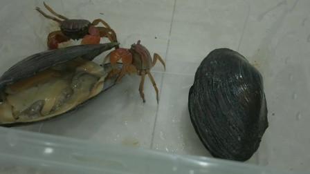 將兩個河蚌和兩個螃蟹放在一起,會如何?螃蟹吃的老香了