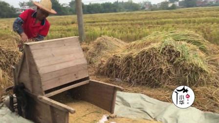 广西农村收稻谷,有一种农具叫打禾机,你见过吗?