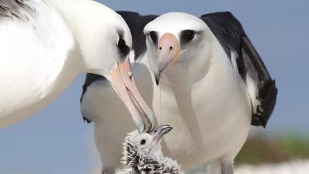 世界上寿命最长的野生鸟类,飞行路程可达600万公里