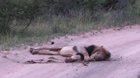狮子在水牛粪里翻滚,难道是受了什么打击?网友:有失身份啊!