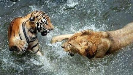 老虎对上狮子胜算几何