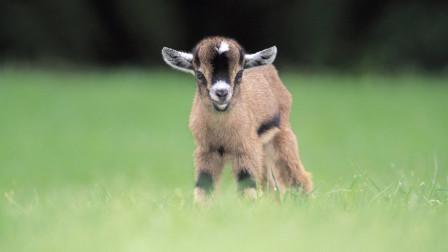 生肖羊和哪位生肖结婚,运势会一帆风顺,财源滚滚?
