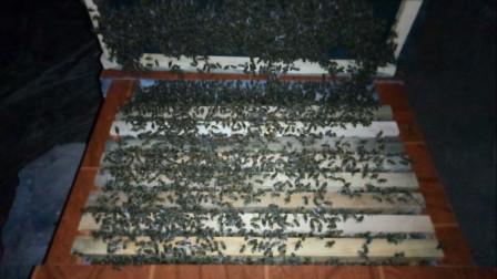 米哥带你看今年山上诱蜂来的最强蜂群