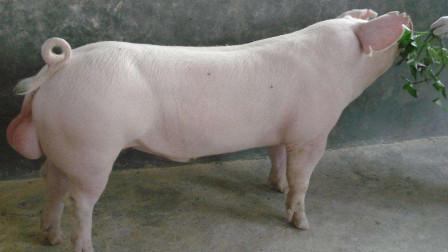 种猪到底有多幸福,每天只需要配种就可以了吗?
