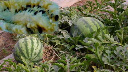 三高人群也能吃的瓜!他种富硒西瓜,1亩能收入近3万