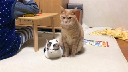 猫妈不在家,橘猫主动照看小奶猫,寸步不离的动作太暖心了