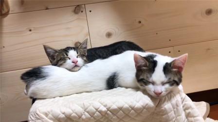 这只白色小奶猫心太大了,被同伴当人肉枕头,还呼呼大睡