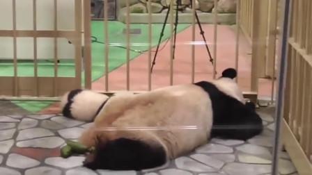 熊猫妈妈和宝宝出演趴趴熊,地上的3坨青团是亮点!