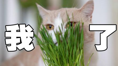 突發奇想給貓咪吃素沒想到貓竟愛上了