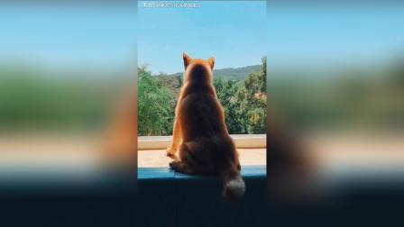 柴犬+七月你好! 我六个月啦!