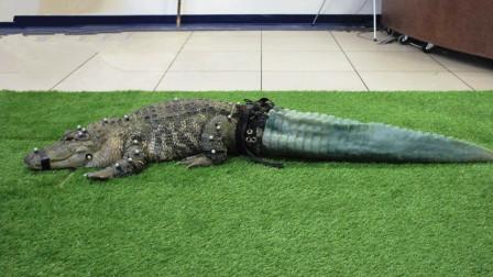 鳄鱼被断尾寻求人类帮忙,专家给它打印了一条尾巴,装上就开心了!