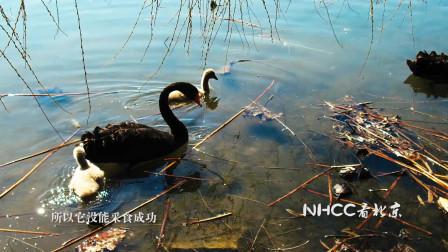 NHCC看北京-黑天鹅的食物
