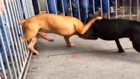 广西斗狗,比特犬咬上了就不会松口,体积再小力量也完全不输对方