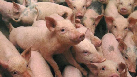 """猪瘟""""来袭"""",会传染人吗?市场上的猪肉还能吃吗?"""