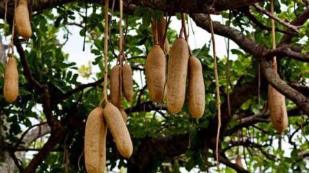 """非洲人为什么懒?了解一下""""香肠树"""",网友:有这等好事谁还干活?"""