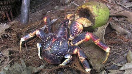 会开椰子的椰子蟹,锋利大钳子咔嚓剪断一支笔,开椰子是怎样的呢