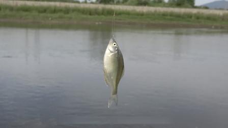 山溪与小河汇流处 浮漂刚入水 提竿就上鱼!