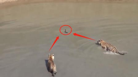 落水老鹰不如鸡,落水老虎竟然被鸭欺,鸭子把一群老虎遛得团团转