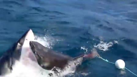 2条大白鲨在海中疯狂互殴撕咬 专家:基本特征