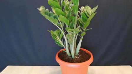 用叶柄就能繁殖的神奇盆栽,还怪好看的