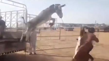 驴的脾气有多倔,几个人都拉不下车,朝着人群就是一个飞驴在天!