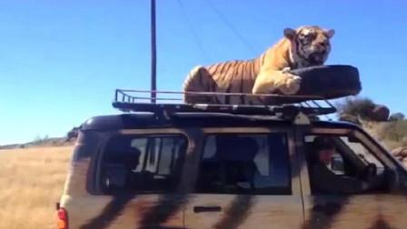 老虎跳上汽车顶部,司机被吓得一脚踩向油门,下一秒意外发生了