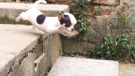 巴掌大的吉娃娃犬,下个楼梯就像跳悬崖似的,你们都忍住别笑