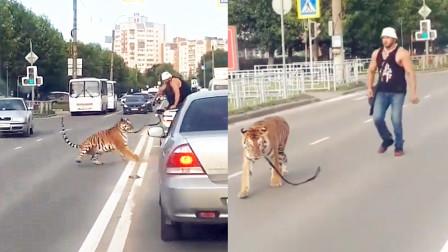 """实拍:俄罗斯一老虎突然""""跳车""""游街 竟如此惧怕驯兽师!"""