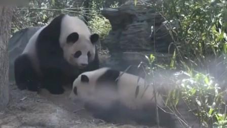 熊猫妈妈:今天没守到兔子倒是逮到个熊宝宝,运气还不错