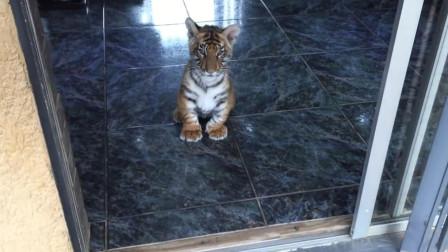小老虎出门发现一群狗狗,虎:别咬我,我很乖的!被萌一脸