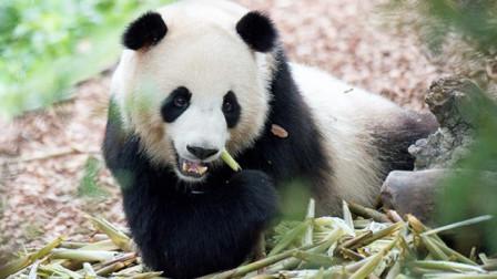 """钓熊猫的""""谭爷爷"""":有什么工作比每天摸着国宝干活更开心呢?"""