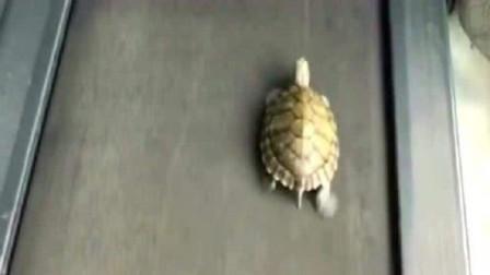 将乌龟放在跑步机上,乌龟疯狂的跑了起来,傻眼了