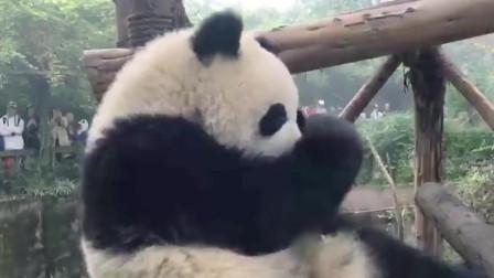 吃货熊猫的世界,奶爸可以走,盆盆和果果得留下!