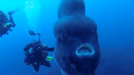 世界上最蠢的鱼,游泳都不会,却不会灭绝,只因一次产卵3亿_多