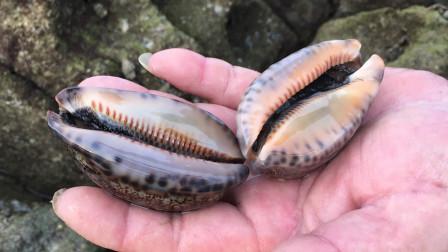 阿华赶海捡到两个漂亮的海螺,放到巴掌刚好大小,这放鱼缸很漂亮