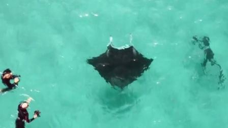 澳大利亚:摄影师水下遇蝠鲼求助 共度晨光 20190719 高清