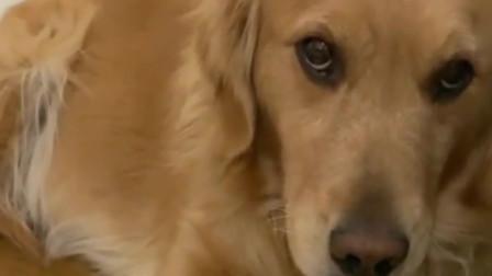 金毛叼着广告纸回家,原因让人哭笑不得,这狗就差不会说话了