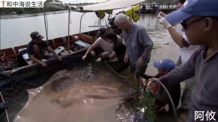 这个老汉又来了,这次是抓魔鬼鱼,好大一只啊,比小船还要大