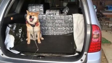 柴犬想上车被主人拦住,主人同意它呆在后备箱,狗狗笑了起来