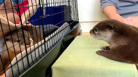 小水獭隔着笼子看自己的孩子,还伸出小手摸个不停,好可爱