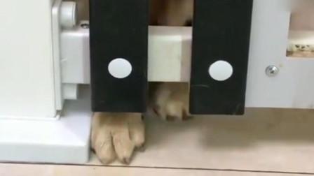 柴犬想吃栏杆外面的狗粮,然而真相是这样的!真是太蠢了!