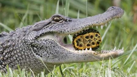 吃了乌龟又吃蛇 巨鳄口味好生猛