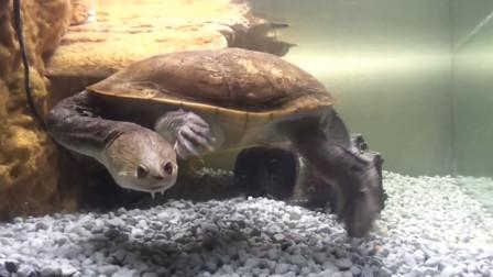 男子野外捡回一只乌龟,数月后,越来越不对劲,很是奇特!