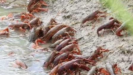 外国龙虾泛滥无人问津,中国吃货有点不淡定了!