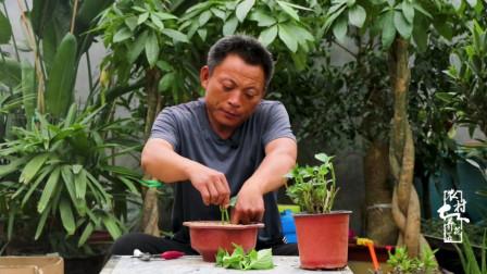 夏季绣球花扦插总是失败?改用这个方法,几乎100%生根!