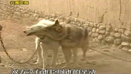 养狼人将一条白色的母狗放到狼的面前,狼十分高兴,认同了彼此