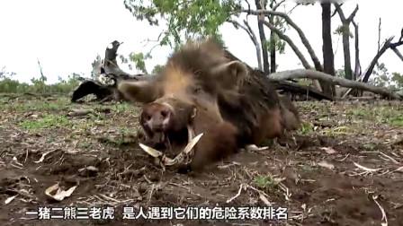 主人把家猪和野猪一起养,没想到发生惨烈一幕,镜头拍下全过程